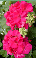 essential-oil-from-geranium